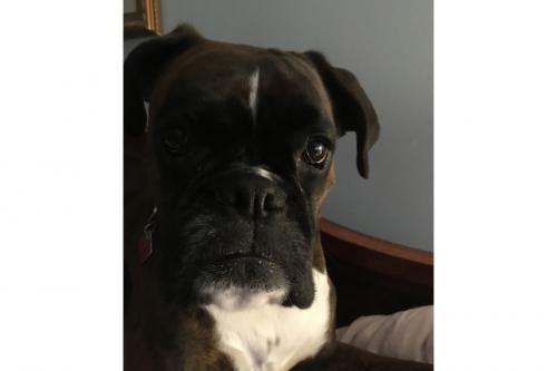 "The adorable boxer ""Darby!"""