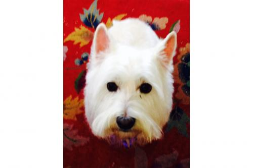 """Kelsey"" the Westie as pretty as ever!"